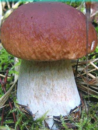 грибы лоси фото и описание