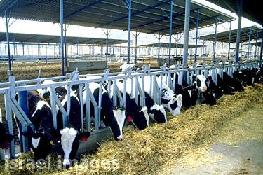 молочная ферма:
