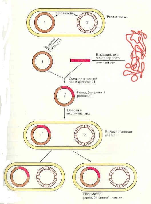 Общий принцип генной инженерии