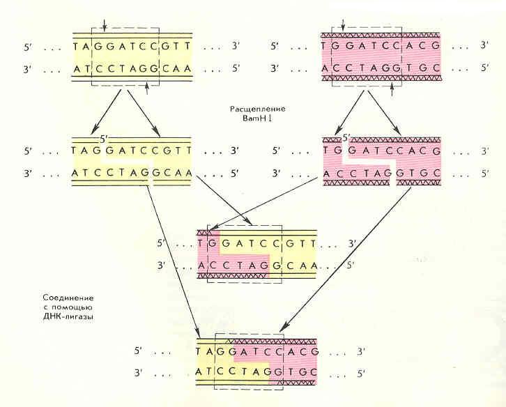 Расщепление молекул ДНК