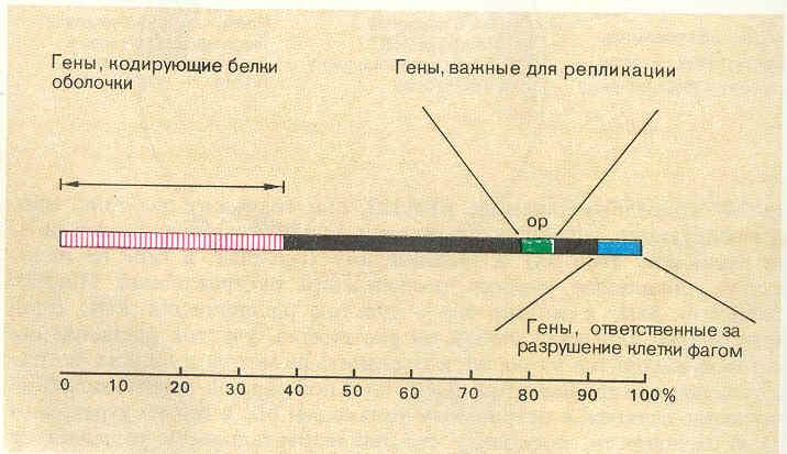 Упрощённая генетическая карта
