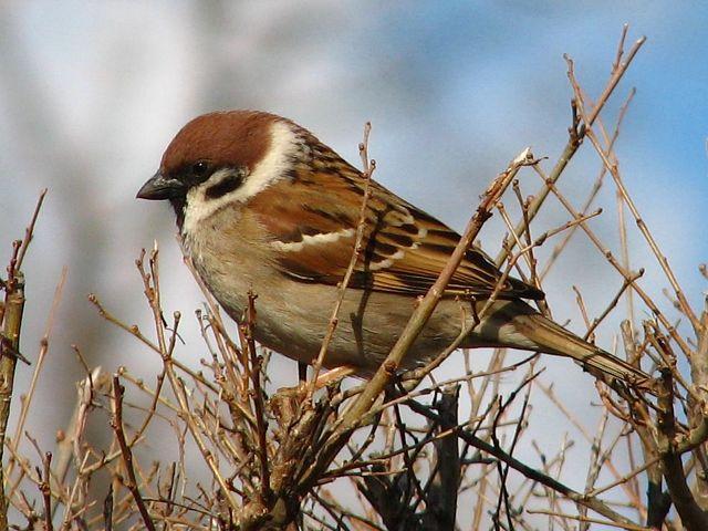 Птицы наших Садов.  Воробьи.  У нас в садах встречаются два вида...