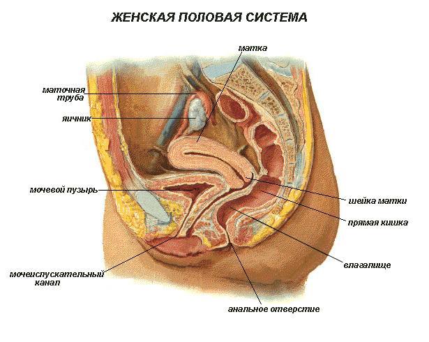 Фото расположения женских половых органов